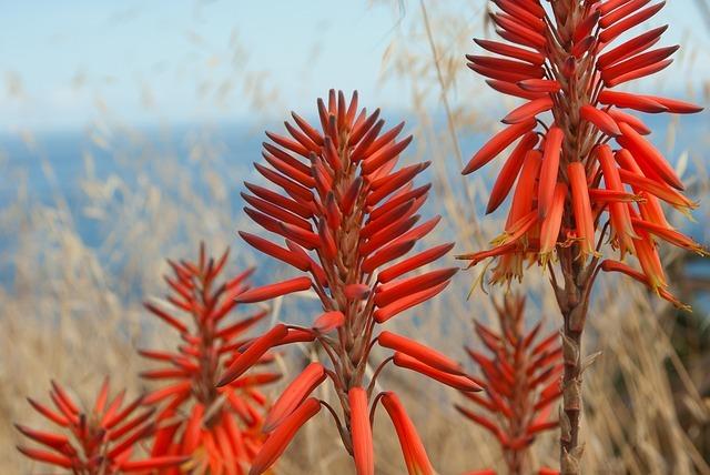 アロエの花ってどんなの?特徴・開花時期から花言葉や効能まで紹介!