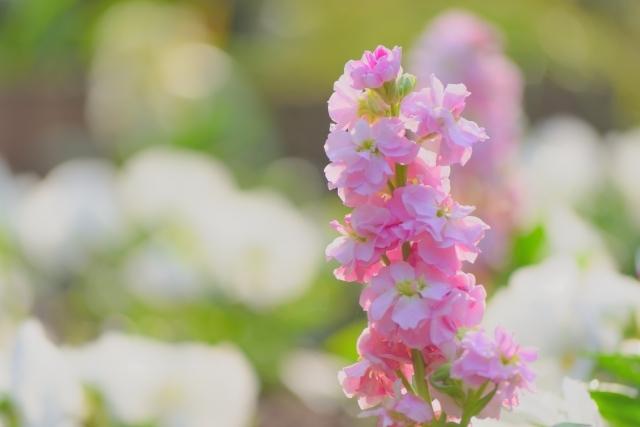 ストックの花言葉とは?ピンク・白・紫など色別や種類別にご紹介!
