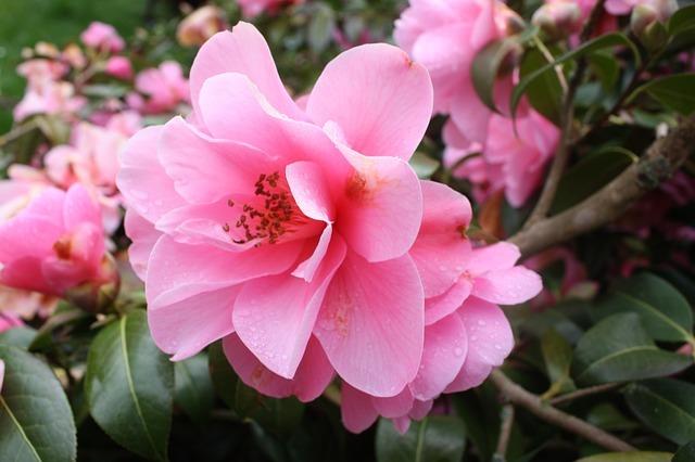 山茶花(サザンカ)の花言葉は?赤・ピンク・白など色別にご紹介!