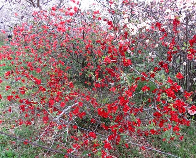 木瓜(ボケ)の花とは?種類や特徴から花言葉・育て方までご紹介!