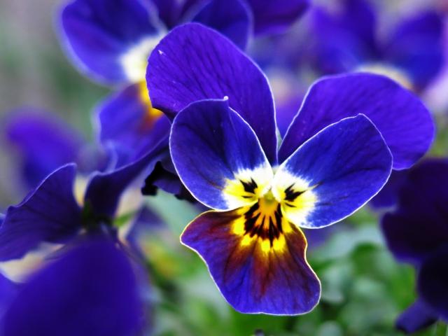 ビオラの花言葉!白・青・紫・赤・黄色・ピンクなど色別にご紹介!
