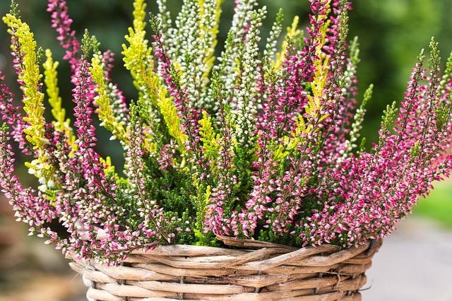 「エリカ」の花言葉は?色別・種類別にご紹介!開花時期はいつ頃?