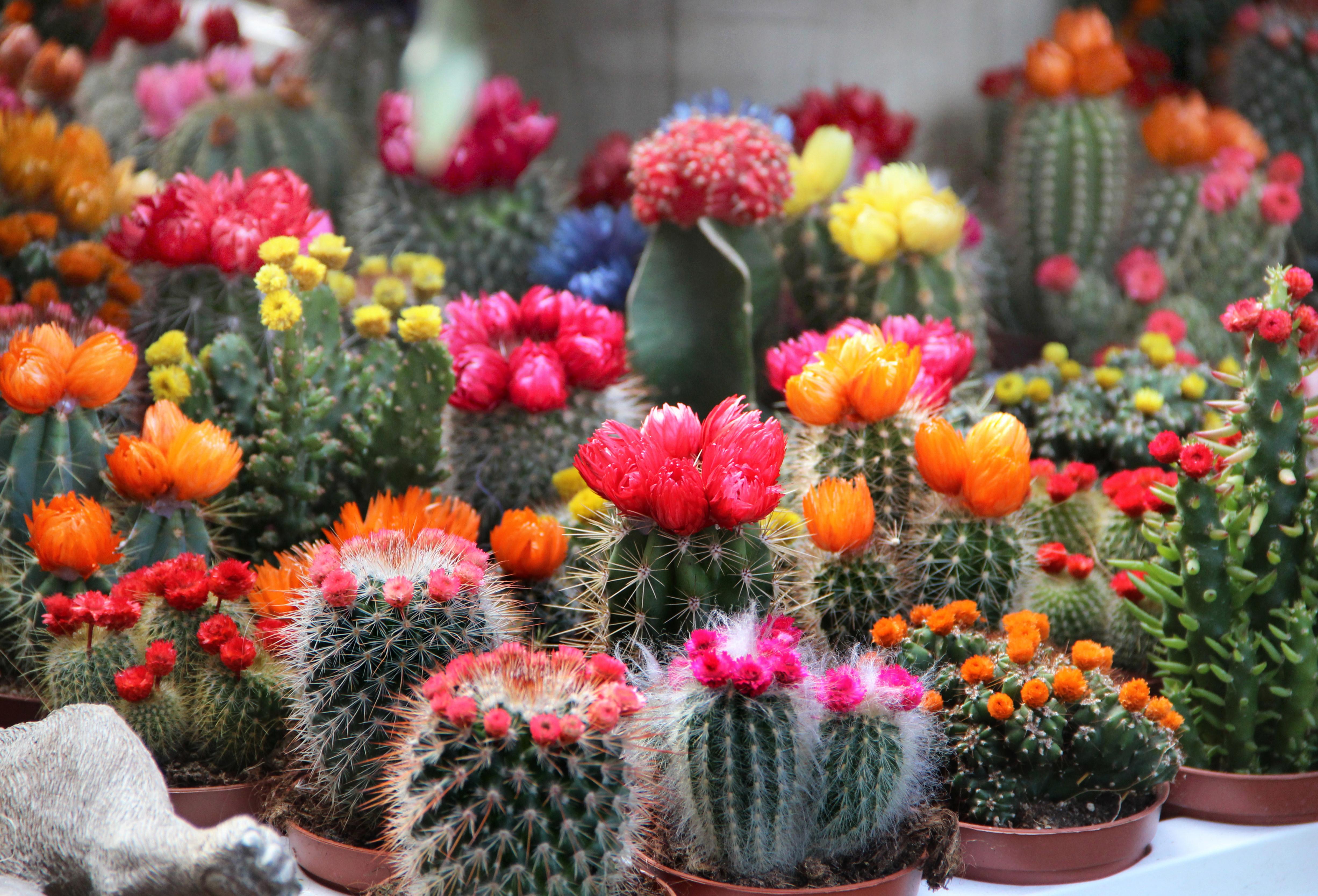 サボテンの花言葉を種類別に紹介!ギフトにもおすすめのサボテンは?