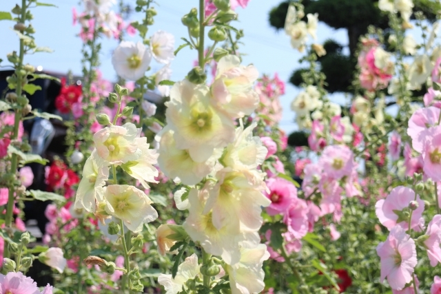 葵(あおい)ってどんな花?特徴・種類や花言葉を紹介!開花時期は?