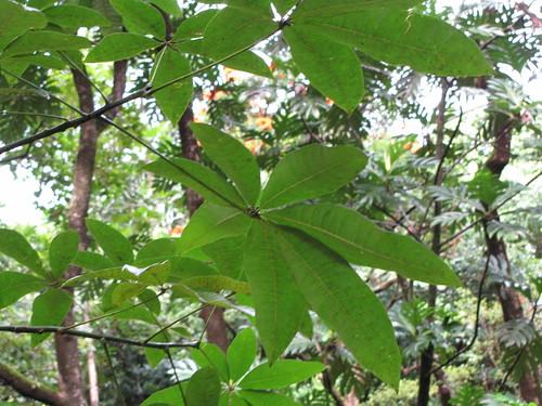 パキラの花言葉とは?風水的にも良いとされる理由や置き場所も解説!