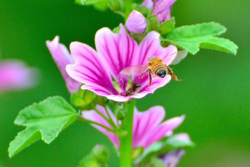 マロウとは?ハーブティーにも使われる花の特徴・種類や育て方を紹介!