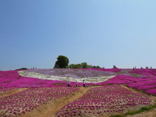 芝桜の育て方!上手な植え方から増やし方・手入れのコツまで解説!