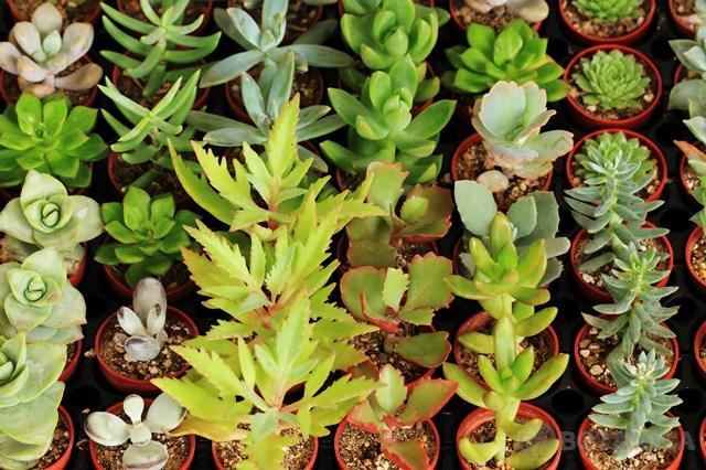 多肉植物の育て方概論!日当たりや水やりなど一般的な栽培管理のコツは?