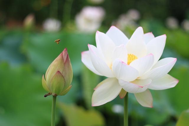 ハス(蓮)の育て方!鉢植えで育てる場合の水管理の方法などを解説!