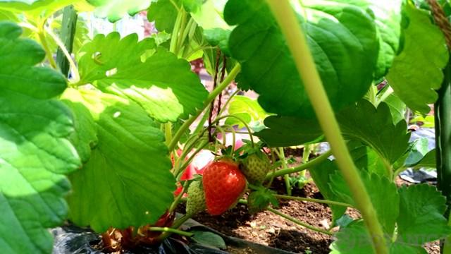 イチゴの花ってどんなの?その特徴や花言葉をご紹介!