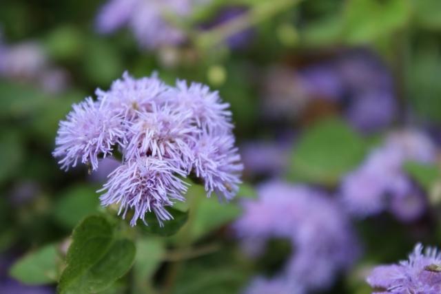 アゲラタムとは?種類・特徴・花言葉から冬越しなど育て方まで解説!