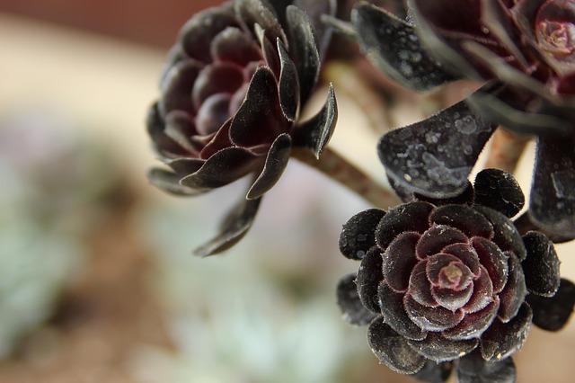 黒い花・黒い植物20選!それぞれ特徴や花言葉などをご紹介!