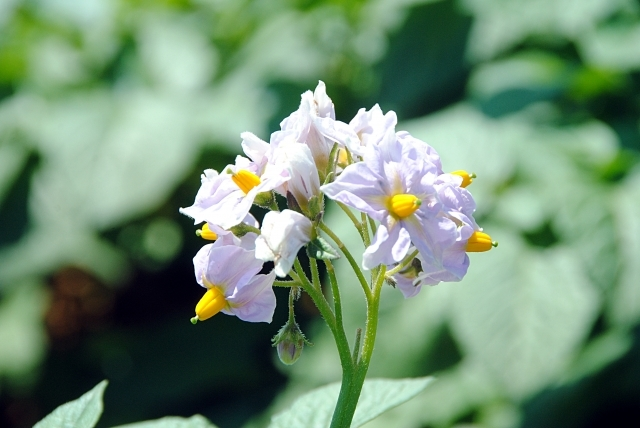 じゃがいもの花とは?特徴・管理方法から食べ方までご紹介!