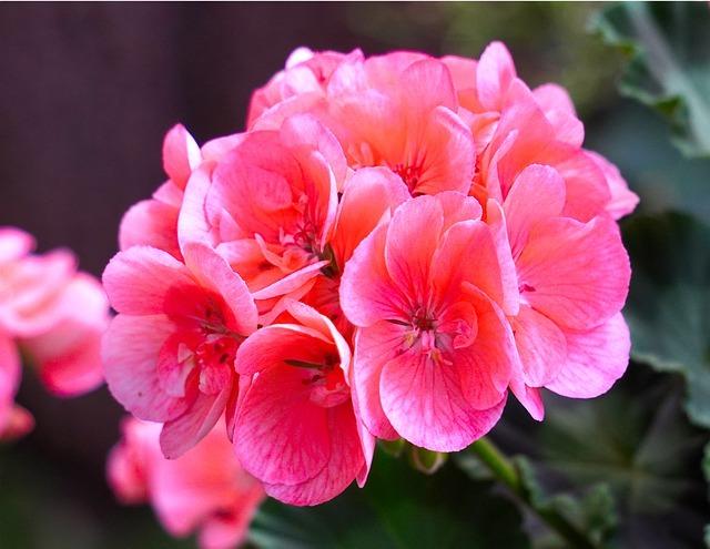 ゼラニウムとは?香りなどの特徴から効能や使われ方までご紹介!