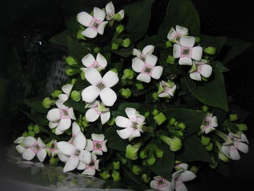 ブバルディア(ブバリア)とは?特徴・品種や育て方をご紹介!