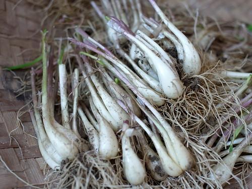 らっきょうの育て方・栽培方法!植え付けから管理・収穫方法まで解説!
