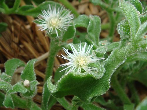アイスプラントの育て方・栽培方法!水やり・温度など管理のコツは?