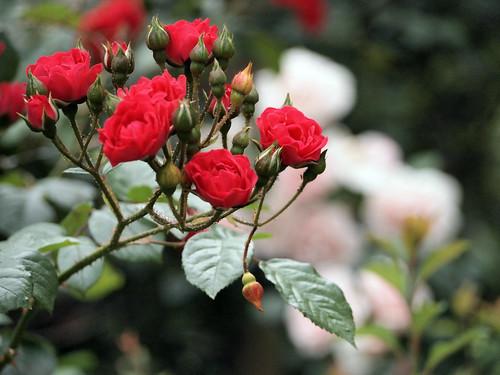 バラの植え替え方法!適切な時期や植え替えの手順・ポイントを解説