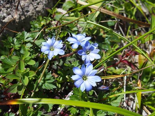 ミヤマリンドウとは?高山植物としての特徴や分布・開花時期を紹介!