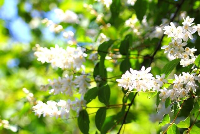 ガクウツギ(額空木)とは?葉や花の特徴や見分け方をご紹介!