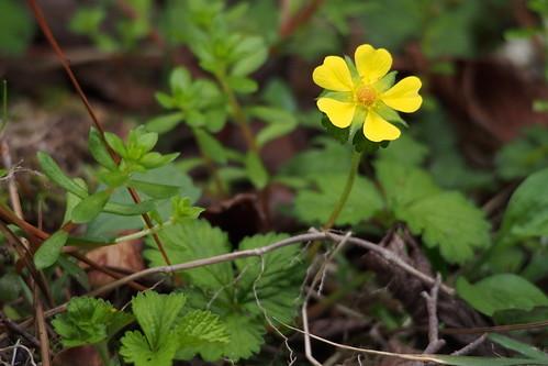 キジムシロとは?特徴や見分け方をご紹介!開花時期はいつ頃?