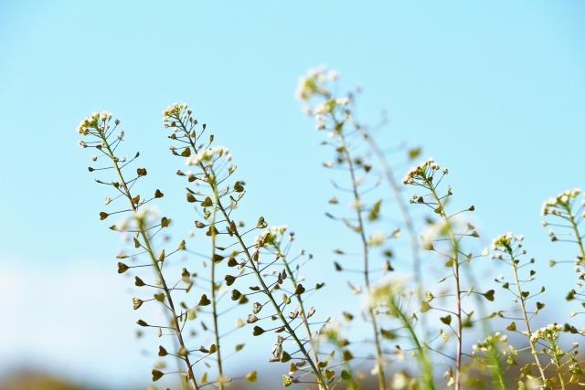 シロイヌナズナとは?どんな植物?特徴や用途をご紹介!