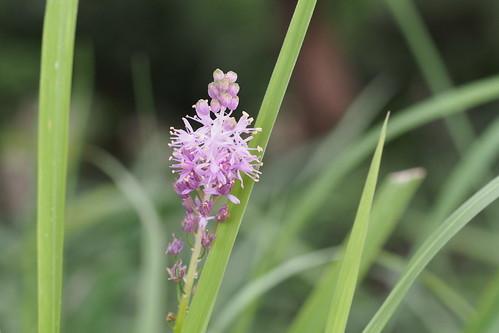 ツルボ(穂蔓)とは?特徴や見分け方をご紹介!開花時期はいつ?