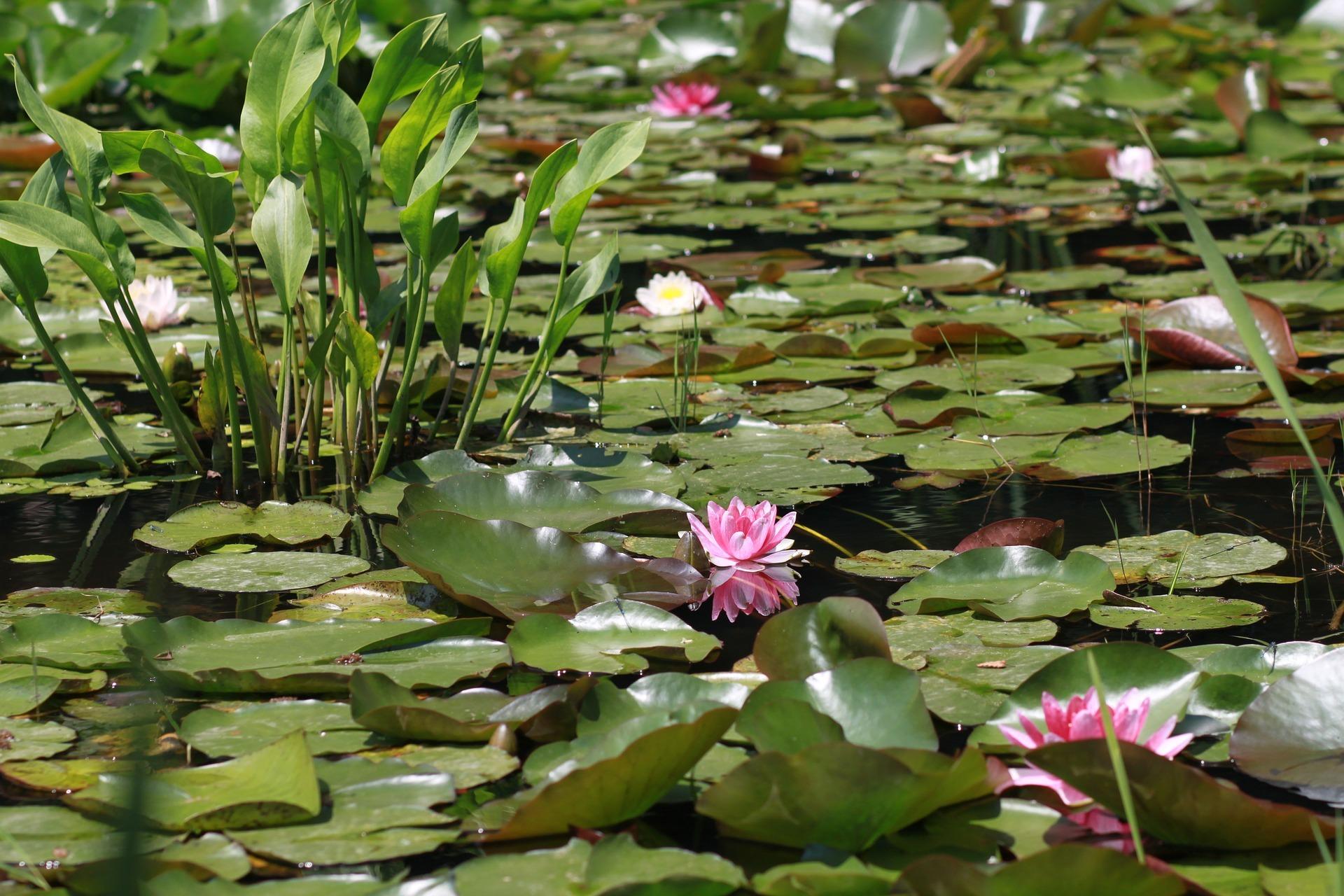 ミズオオバコとは?特徴や見分け方をご紹介!どんな水生植物?