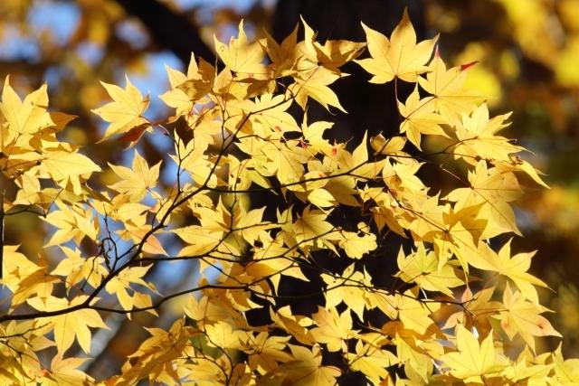 イタヤカエデ(板屋楓)とは?紅葉の時期や木材としての用途を解説!