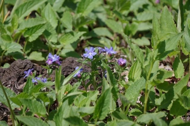 ホタルカズラとは?特徴や花言葉・育て方をご紹介!開花時期はいつ?