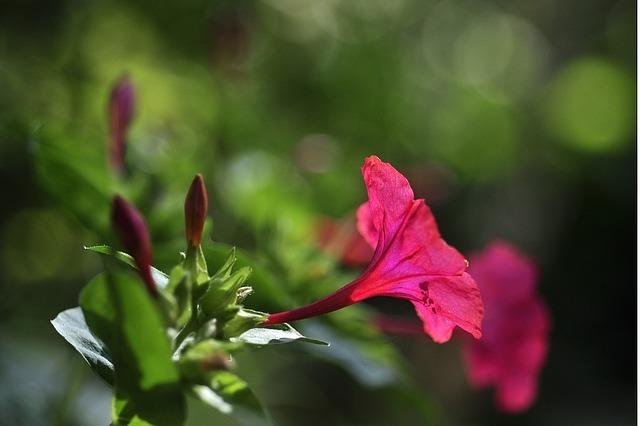 オシロイバナの育て方!種まきの仕方から開花までの管理のコツを解説!
