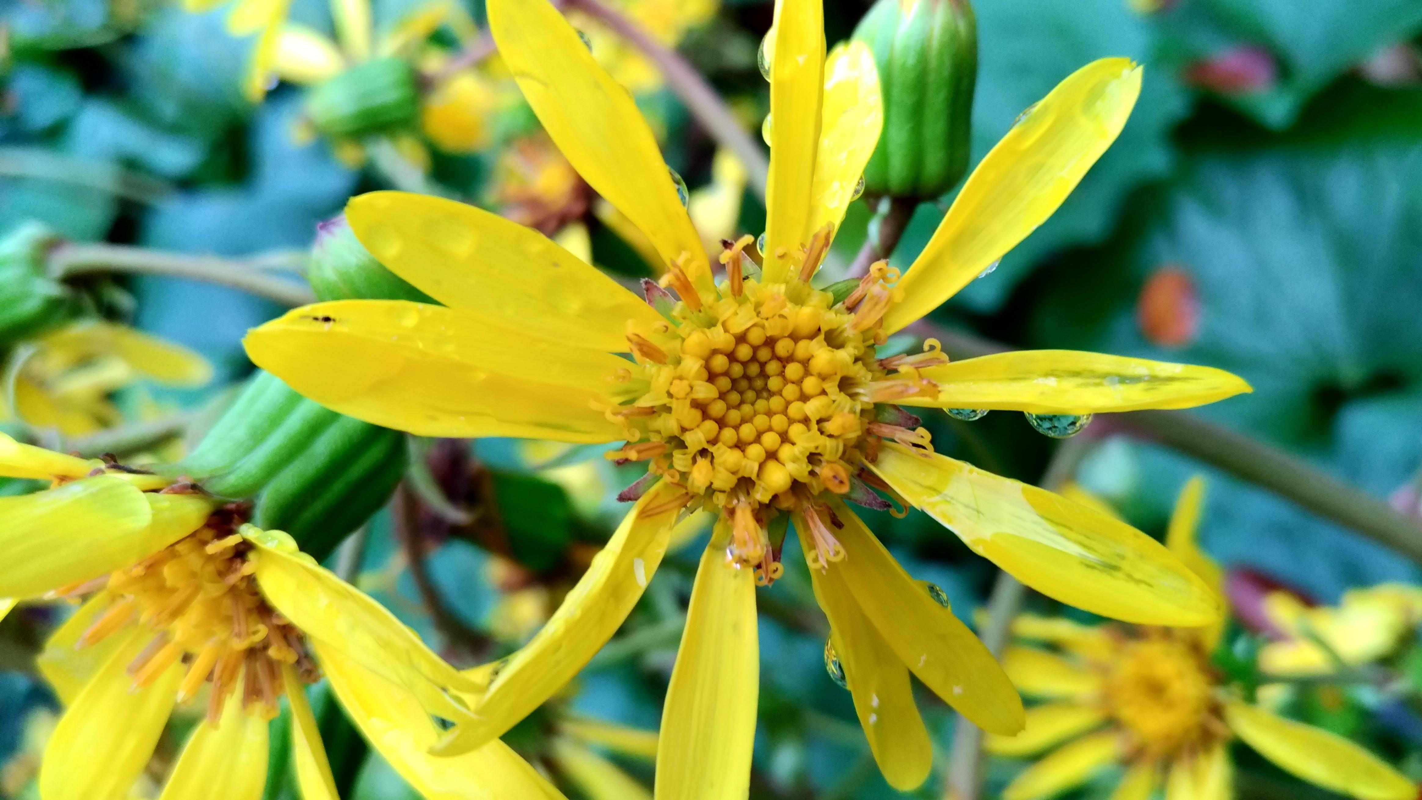ツワブキ(石蕗)とは?植物としての特徴・種類や利用法をご紹介!