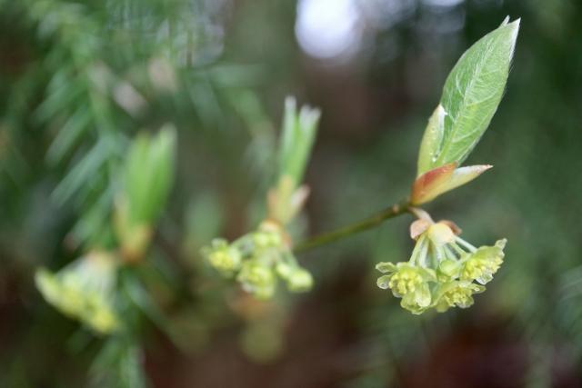 クロモジ(黒文字)とは?樹木としての特徴や利用方法をご紹介!