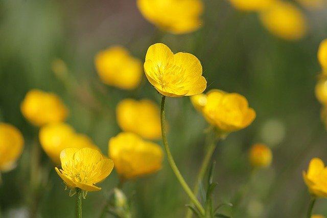 「キンポウゲ」とは?花の名前?花の種類?意味をわかりやすく解説!