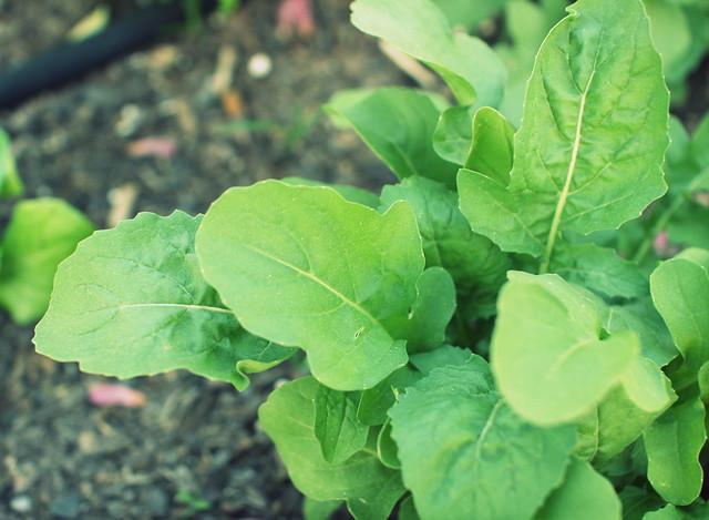 ルッコラの育て方!家庭菜園での栽培方法から食べ方まで解説!