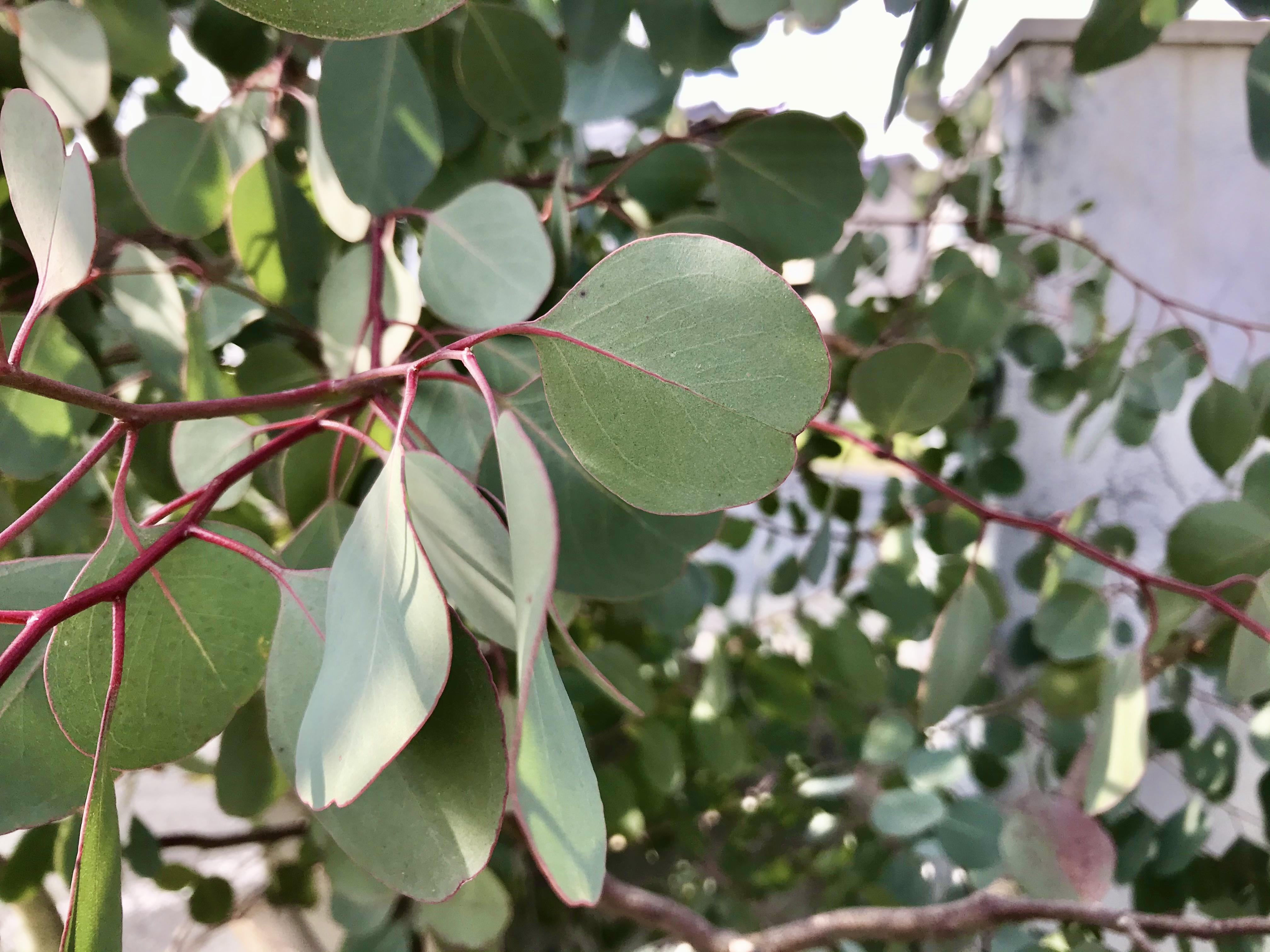 ユーカリ・ポポラスとは?ハートが特徴的な植物の特徴や種類をご紹介!