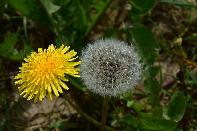 セイヨウタンポポとは?特徴や見分け方をご紹介!開花時期はいつ?