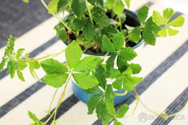 シュガーバインとは?観葉植物としての特徴や花言葉・飾り方を紹介!