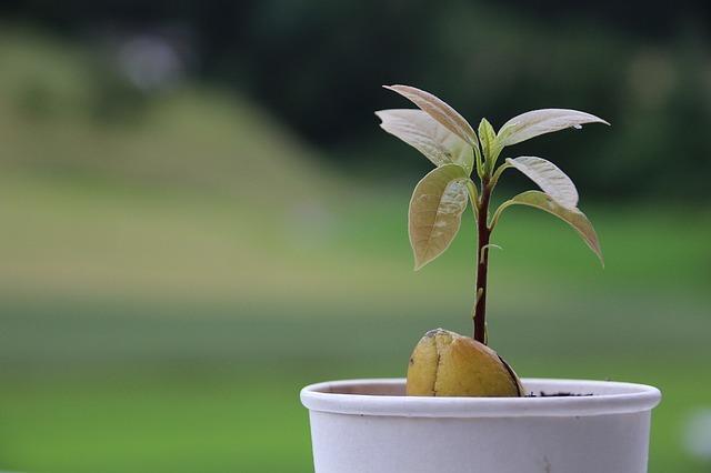 アボカドを観葉植物として育てよう!水やりや置き場など管理のコツは?