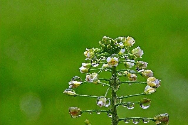 ナズナ(薺)とは?花や葉の特徴・見分け方から食べ方や効能まで紹介!
