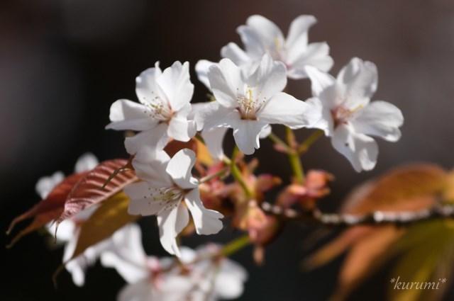 ヤマザクラ(山桜)とは?どんな種類がある?特徴や見分け方も紹介!
