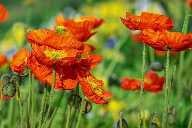 ポピーの花言葉とは?意味や由来は?種類や色別に別々の花言葉はある?