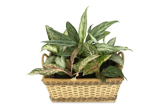 アグラオネマってどんな観葉植物?その種類や魅力などの特徴を紹介!