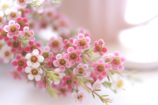 ワックスフラワーとは?どんな花?どんな香り?特徴や育て方を紹介!