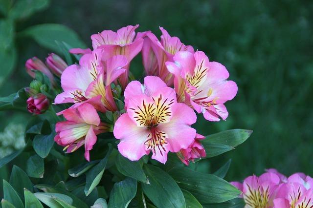 アルストロメリアの花言葉とは?色別や品種毎に別々の花言葉はある?