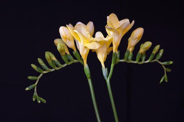 フリージアとは?どんな花?その種類や花言葉などの特徴をご紹介!
