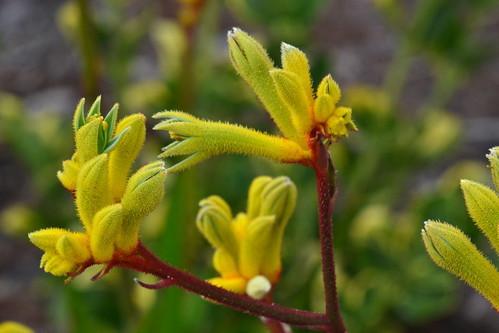 カンガルーポーとは?アヤメにも似た花の特徴や育て方をご紹介!