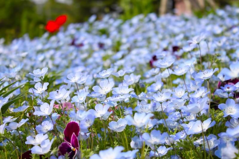 青い花といえば?代表12種類をご紹介!夏に咲く小さな青い花の名前は?