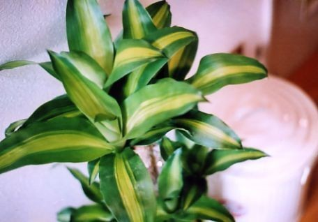 ドラセナの種類図鑑!どんな種類があるの?栽培に人気の品種はどれ?