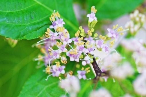 紫式部(ムラサキシキブ)とはどんな植物?花言葉や育て方をご紹介!